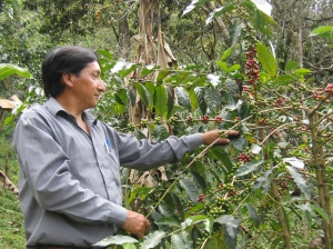 Jose Armijos picking ripe cherries