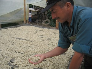 Checking the moisture content of the drying coffee beans