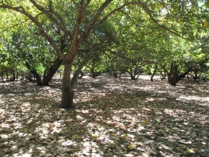 These trees were all planted by a german landowner, Luz Draico, who owned the island, a neighboring island, Tasajera, and what is now two communities on the mainland, La Canoa and El Naranjo