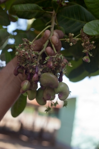 The harvest begins in December.  First, little purple flowers bloom.  About a week later, the nut appears.