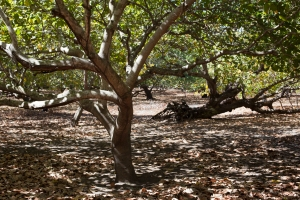 Cashew nut tree farms on the Isle of Montecristo where 15 members of Aprainores live.  The trees are 80 - 100 years old.