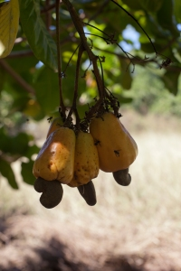 Cashew fruit can by yellow, red, or a mixture of the two.