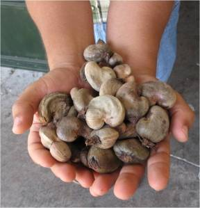 The nuts are collected on the farms, dried outside for three days, and then brought to the plant for processing.