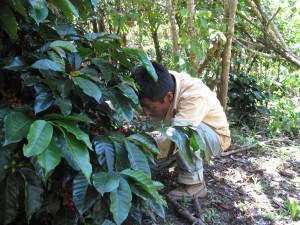 Escolastico Perez Gomez picking coffee.