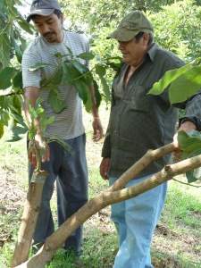 Jose Luis and his son, Carlos, point out a grafted avocado tree on Jose Luis's farm in Tingambato, Mexico