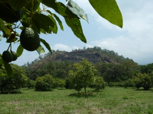 A small Hass avocado growing on an avocado tree on Alfredo's mountainous family farm